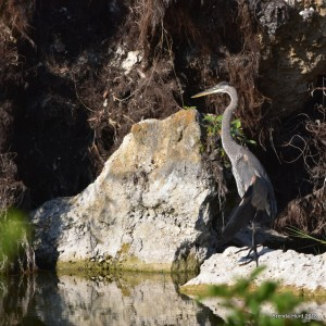 A young Great Blue Heron (Ardea herodias) spotted by Lee County Bird Patrol during their April 7th 2018 guided tour of Lakes Park. PHOTO: Brenda Hurd