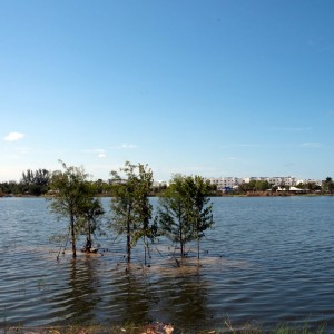 New native cypress trees planted on a now-submerged lake island.