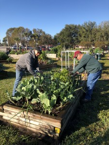 Lakes Park Community Garden volunteers harvest fresh produce for the Community Cooperative, January 29th, 2019.