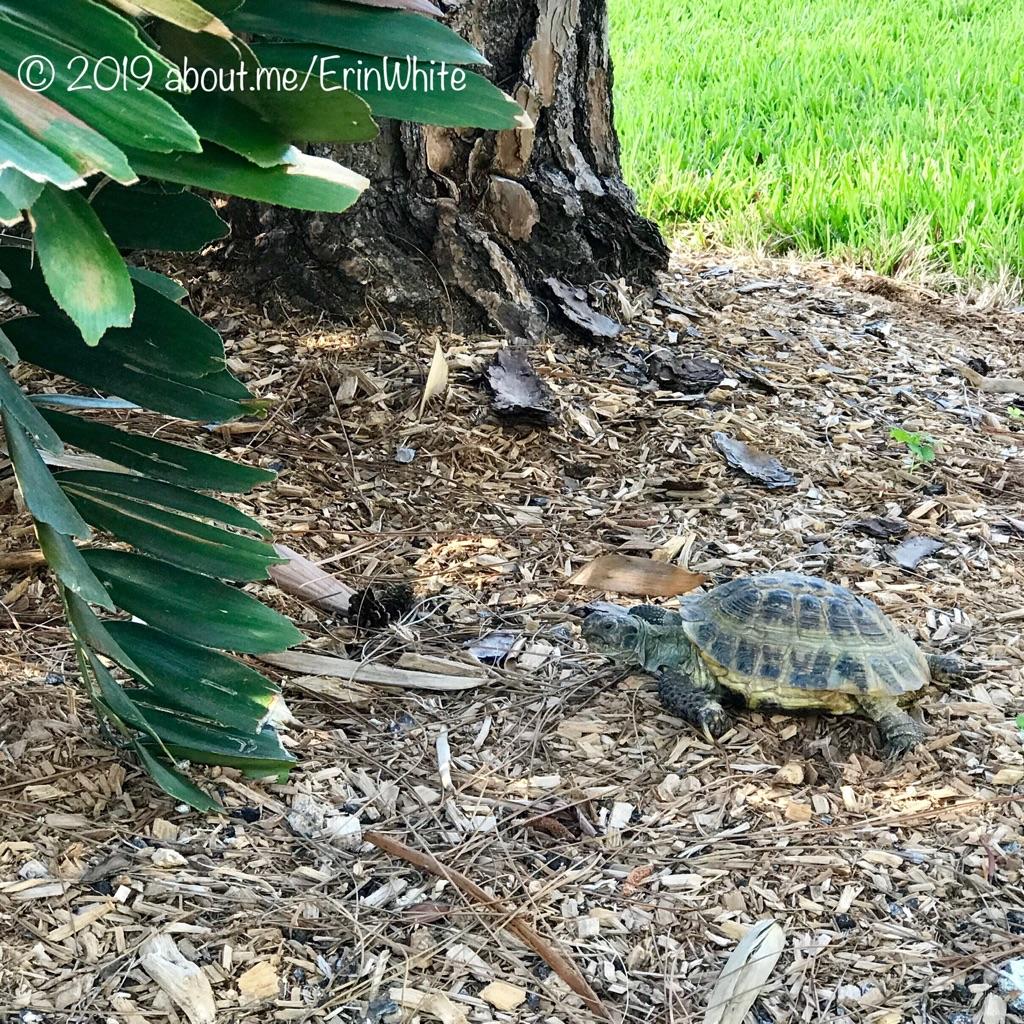 Juvenile gopher tortoise at Lakes Park