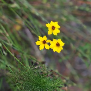 Erin White Coreopsis