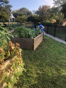 Harvesting produce in the Community Garden at Lakes Park