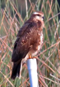 Snail kite seen in Lakes Park Fort Myers Florida