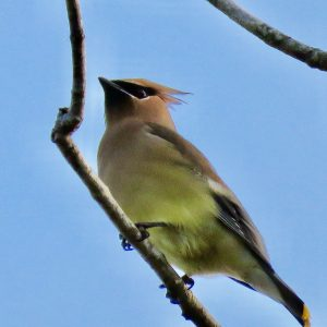 Cedar waxwing bird in Lakes Park Fort Myers Florida