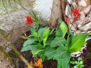 Indian shot canna (Canna indica) growing at the base of some trees in the Fragrance Garden at Lakes Park.